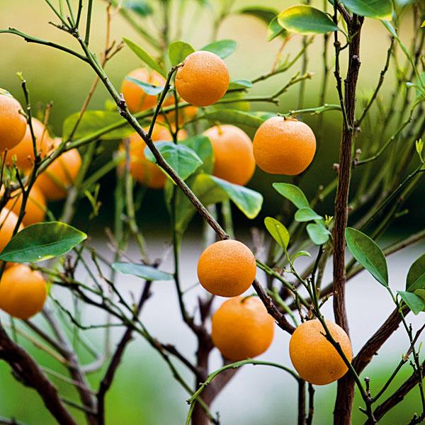Presadenie citrusov. Signálom na to, že je presadenie potrebné, je hustá spleť koreňov v črepníku a ich prerastenie cez odtokový otvor. Nový črepník by mal mať vždy priemer väčší o 3 až 5 cm. Používajte zeminu určenú na citrusy, ktorá by okrem rašeliny mala obsahovať aj drobnejšie úlomky hornín. Pôvodný koreňový bal nerozoberajte, ale ho vložte do nového črepníka v celku. Nezabudnite, že spodná časť kmienka nesmie byť zahrnutá substrátom a korene nesmú zo zeminy vytŕčať. Povrch pôdy v črepníku môžete vysypať riečnym štrkom alebo drobnejšími lávovými kameňmi.