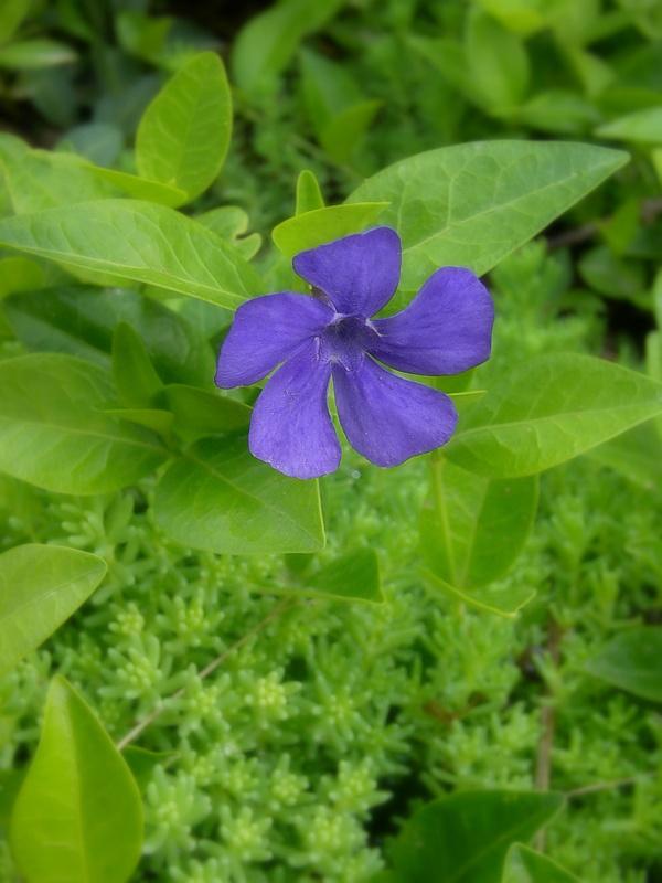 Zimozeleň zvyčajne vytvára skupiny až koberec. Z jej kvetov sa môžeme tešiť už na jar, a to v marci (kvitne v marci až v júni). Kvietky sú sfarbené namodro. Ojedinele sa môžeme stretnúť s bielou, prípadne ružovou farbou. Podobné je to aj s plodmi, tie sa vytvárajú tiež výnimočne. Na rozdiel od niektorých rastlín, tomuto polokru na zimu listy neopadávajú. Celá rastlina je jedovatá.