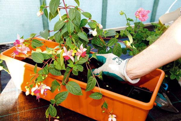 VÝSADBA FUKSIE. Do stredu nádoby najskôr uložte dominantnejšiu rastlinu, respektíve tú, ktorá má krehkejšie stonky akvety – vtomto prípade fuksiu. Koreňový bal opatrne zasypte nachystanou zvyšnou zeminou.