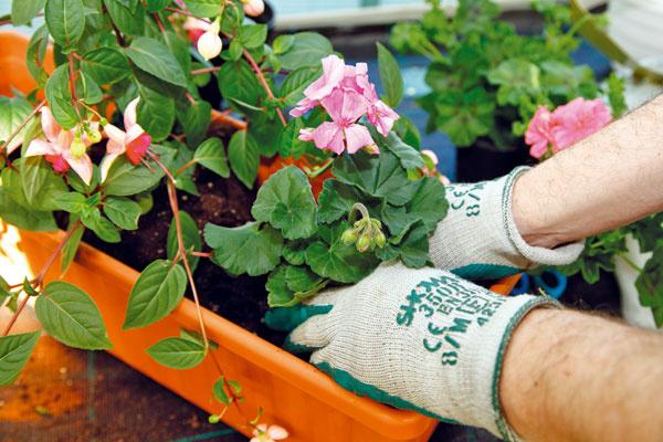 DOPLNENIE VÝSADBY. Po oboch stranách už vysadenej fuksie vysaďte aj muškáty. Vprípade, že máte väčší kvetináč, môžete vysadiť viac jedincov alebo použiť aj inú rastlinu, napríklad sprevísajúcimi výhonkami.