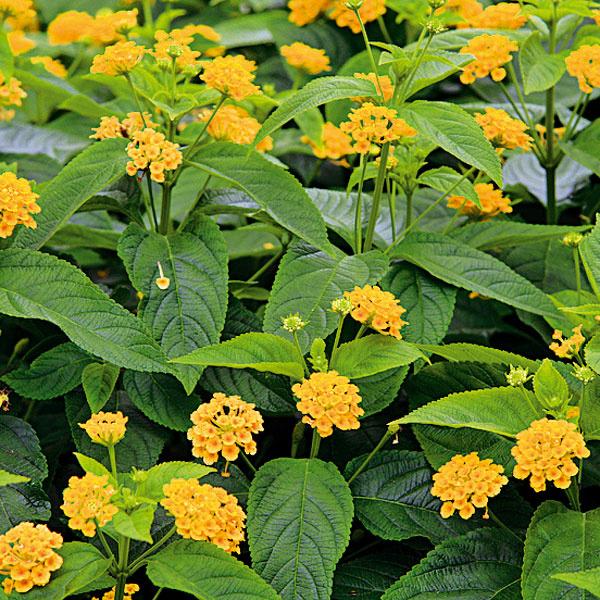 Zaujímavá lantana. K najkrajším balkónovým rastlinám patrí lantana (Lantana camara). Má kríkovitý rast, drevnaté   stonky a pomerne drsné listy. Kvety tejto dreviny sú žlté, bielo-žlto-ružové, prípadne oranžovo-červené (farba   kvetov sa mení). Lantanu je možné vysadiť aj teraz – v kvitnúcom stave. Potrebuje dostatočnú zálievku, pravidelné   prihnojovanie a odstraňovanie odkvitnutých súkvetí. Na podporu rozkonárenia je dobré občas zaštipnúť vrcholy   výhonkov. Lantana miluje slnko a teplo, umiestnenie v tieni a vo vlhku je nevhodné. Dobre sa pestuje spolu s   bylinkami.