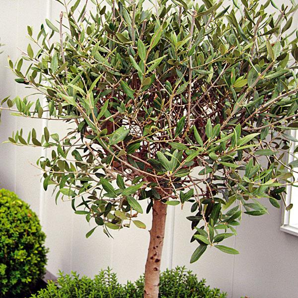 Pestovanie olivovníka. V ponuke našich záhradníctiev sa objavujú aj olivovníky (Olea europaea), ich celoročné   pestovanie na balkónoch či terasách ale u nás nie je vhodné, sú však krásnou ozdobou exteriéru počas letných   mesiacov. Olivovníky potrebujú dostatočne priestrannú nádobu. Ideálne je zakúpiť ich neskôr na jar, prípadne   začiatkom leta. Substrát by mal byť ílovitý, prípadne piesčitý až štrkovitý. Najlepšie je umiestniť rastlinu na   slnečné a teplé miesto. Vyžaduje pravidelné zavlažovanie a občas zastrihnutie dlhších výhonkov, čím sa docieli   pekné rozkonárenie.