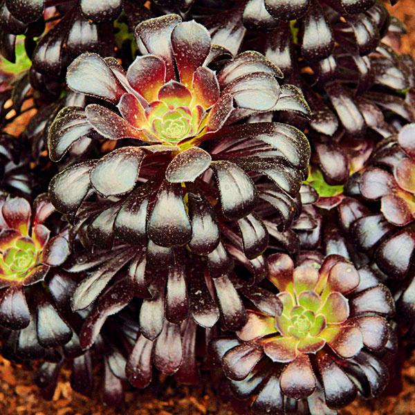 Opičí strom. Aj tak sa nazýva zaujímavý sukulent eónium (Aeonium arboreum 'Atropurpureum'). Ak sa umiestni v lete   na slnečné a vzdušné miesto pri dome, kde bude zabezpečená ochrana pred poludňajším slnkom, sfarbia sa zelené   listy do purpurova až takmer do čierna. Rastlina môže zatraktívniť aj interiér, sfarbenie však nebude také   výrazné. Ide o dlhovekú, pestovateľsky nenáročnú rastlinu vhodnú aj pre začiatočníkov. Eónium potrebuje stále   vlhkú zeminu, pravidelné prihnojovanie raz za 14 dní a substrát s obsahom piesku a rašeliny, v zime svetlé a   chladnejšie miesto.