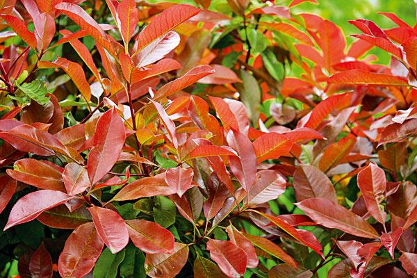 Čo potrebuje blýskavka. Jednou z pomerne nových drevín u nás je blýskavka (Photinia fraser 'Red Robin'). Ide o   chúlostivejšiu rastlinu, ktorá vyniká vždyzelenými lesklými listami a červenou farebnosťou pri pučaní. Koncom   jari sa na nej objavujú biele kvety, z ktorých sa neskôr vyvíjajú guľovité plody. Farebnosť je najintenzívnejšia   na vhodne zvolenom mieste a v prípade nových listov trvá aj tri až štyri mesiace. Blýskavka potrebuje mierne   vlhkú, kyslejšiu pôdu bohatú na humus, slnko alebo polotieň. Vysádza sa do skupín alebo živých plotov. Je možné   ju tvarovať.