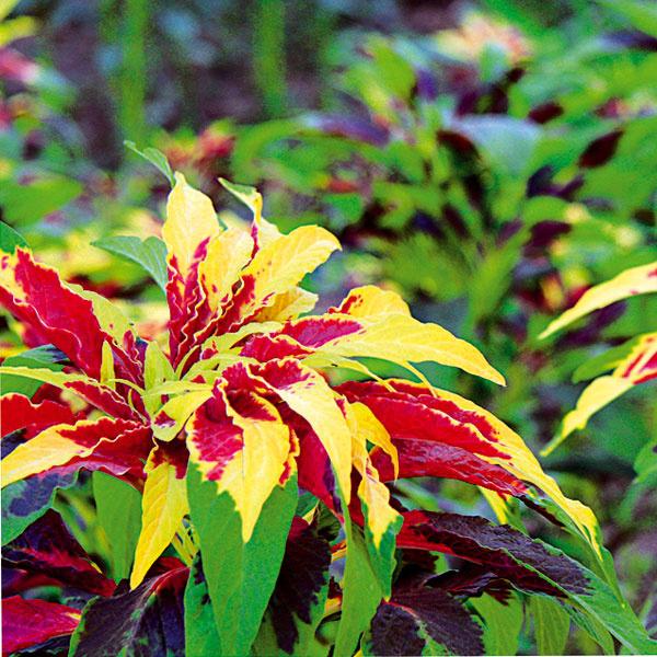Letný karneval farieb. Láskavec (Amaranhus tricolor) je unás menej známa, no veľmi efektná letnička, ktorá do záhrady vnesie vlete anajmä na jeseň hravú farebnosť. Dobre sa rozmnožuje semenami, vysaďte ho na definitívne miesto, pretože zle znáša presádzanie. Vyžaduje si slnko, skôr sucho amiesto chránené pred vetrom svýživnou apriepustnou pôdou, vlete pravidelnejšiu zálievku. Vynikne najmä vo vidieckych záhradách avzmiešaných výsadbách. Vtomto období si ho môžete dobre prezrieť ana jeseň vysiať. Nasledujúcu sezónu začne sprvým oteplením sám vyrastať.