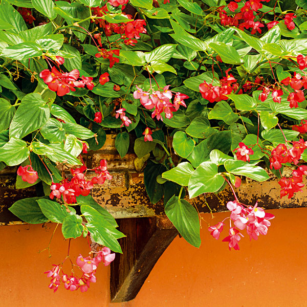 Previsy zbegónií. Knajkrajším balkónovým rastlinám patria begónie. Populárne je najmä pestovanie kultivarov sprevisnutým rastom. Bohatstvo kvetov je podmienené chráneným miestom vpolotieni atakisto je potrebné dopriať im kyslejší substrát apravidelné zavlažovanie. Rastliny však neznášajú trvalé vlhko pri koreňoch, apreto by mal substrát vždy preschnúť. Pod ťarchou kvetov sa im často lámu stonky, preto im zabezpečte nenápadné opory. Dôležité je pravidelné prihnojovanie hnojivom na kvitnúce balkónové letničky aodstraňovanie žltých aodumierajúcich listov.