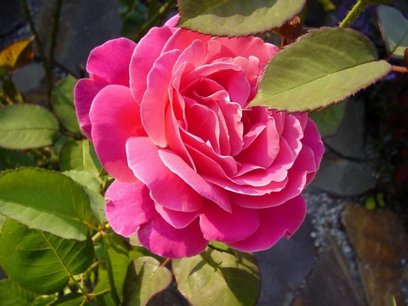 Všetko o ružiach a ich pestovaní