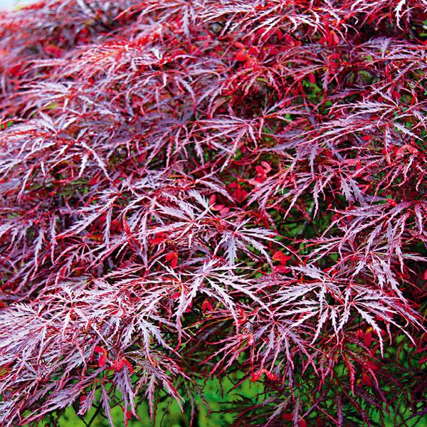 Javor dlaňovitolistý (Acer palmatum) sa výborne uplatní  vo väčšej aj vmenšej záhrade. Vpôvodnej domovine dorastá až do výšky 8 m, unás je spravidla menší. Vzáhrade mu vyhovuje polotienisté miesto (tieň by mal dopadať zjuhu) aprimerane vlhká humózna apriepustná pôda bez obsahu vápnika. Substrát by mal byť mierne kyslý. Kmladším exemplárom treba na zimu nahrnúť vrstvu lístia atú zaťažiť ihličnatými chvojkami. Počas leta je prospešná zálievka, prihnojovať netreba. Tento javor neznáša silné zimné slnko –najlepšie ho ochránite natianutými rohožami. Vzáhrade sa uplatní najmä ako solitér – predovšetkým na jeseň sú javory atraktívne svojimi ohnivočervenými listami. Vysádzať by sa mali len skoreňovým balom avzásade na jar. Rez nie je potrebný.