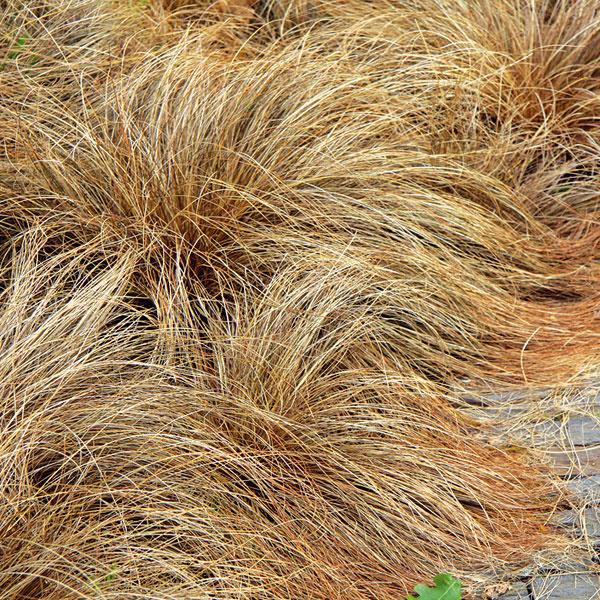 Okrasné trávy pri chodníku. Aj pri spevnených plochách si môžete vytvoriť zaujímavé výsadby. Voľte kompaktne rastúce druhy, zaujímavé vyfarbením či habitusom. Je dobré, ak ide ojedince dobre znášajúce teplo asucho, keďže spevnené plochy sú charakteristické kumuláciou tepla. Nezabúdajte, že do mestskej záhrady sa hodí menej rastlinných druhov, kým vo vidieckej môže byť ich paleta oveľa pestrejšia. Samozrejme, nemusí ísť len okvitnúce druhy trvaliek, ale aj o tie okrasné listami. Veľmi pekné sú nižšie druhy okrasných tráv, napríklad ostrice (Carex comanns).