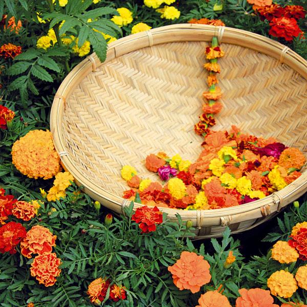 Všestranné aksamietnice. Aksamietnice (Tagetes) sú ideálne balkónové letničky. Obľubujú slnko, teplo aj sucho aneprekáža im ani vietor. Kvitnú pomerne dlho, ato aj vtedy, keď už ostatné letničky odkvitli. Výborne sa kombinujú sprvými jesennými kvetmi – chryzantémami aj vresmi. Ak chcete, aby dlho kvitli, pravidelne im odstraňujte odkvitnuté kvety. Nezabudnite na pravidelnú zálievku ahnojenie. Aksamietnice pokvitnú až do prvých mrazov. Ešte predtým si môžete zopár kvetov ostrihať anasušiť. Ak ich položíte do plytkej misky, budú peknou dekoráciou interiéru.
