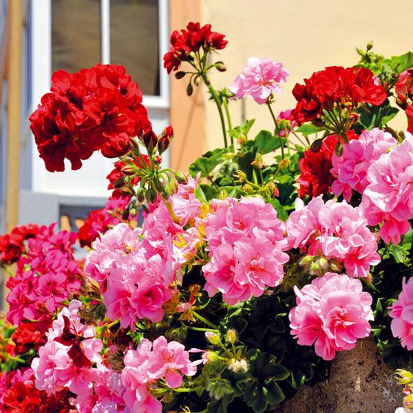 Čo vyhodiť ačo nechať. Nie všetky rastliny, ktoré ste pestovali na balkónoch aterasách, treba na jeseň zlikvidovať. Muškáty, fuksie, koleusy, netýkavky či kany možno premiestniť do zimných záhrad či do chladnejších miestností, kde budú ešte nejaký čas kvitnúť. Dôležité je pravidelne ich zalievať, odstraňovať im žltnúce asuché lístie apôdu vnádobe občas prekypriť. Netreba zabúdať, že by mali mať prístup svetla, ateda nie je dobré sústrediť ich na jedno tmavšie miesto. Pri ideálnych podmienkach mnohé dobre prezimujú ana jar ich opäť môžete vyniesť von.