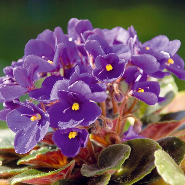 Ako prinútiť fialku kvitnúť. Africké fialky (Saintpaulia ionatha) patria k obľúbeným izbovým rastlinám. Pri vhodnej starostlivosti kvitnú takmer celoročne. Fialky by mali mať dostatok svetla, nie však priame slnko. Najvhodnejšie je umiestnenie na severnom či východnom okne. Ak sú umiestnené na priamom slnku, trpia popáleninami listov, preto je nutné chrániť ich záclonou či roletami. Pri nedostatku svetla menej kvitnú a pôsobia slabo. Pokiaľ ide o teplotu, optimálne je rozpätie 20 až 25 °C. Zalievať ich treba do misky, črepník ale nesmie stáť v miske s vodou.