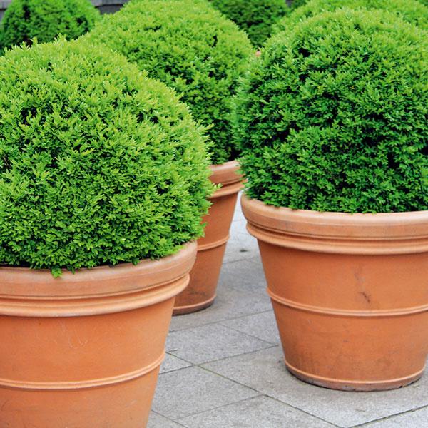 Dokonalý vzhľad krušpánov. Krušpány (Buxus sempervirens) môžu byť peknou dekoráciu balkóna či terasy, prípadne aj súčasťou kompozície z jesenných rastlín, či už okrasných kvetmi (vresy), alebo plodmi (gaultérie). Nezabudnite na pravidelné zavlažovanie a kontrolu ich zdravotného stavu. Prihnojenie ani tvarovanie nie je potrebné. Odstráňte však suché či poškodené vetvičky. Na povrch substrátu je dobré nasypať kôrový mulč, prípadne drobnejšie šišky. Povrch pôdy tak bude chránený aj estetický. Krušpány už nepresádzajte, sústreďte ich však bližšie k stene domu.
