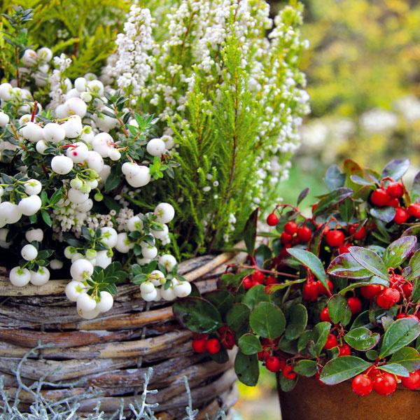 Farebné jesenné koráliky  Do košíkov, starších hlinených črepníkov či kovových nádob si môžete vysadiť nádherné typicky jesenné rastliny. Základom je priestranná nádoba, výživný, mierne vlhký substrát a kvalitné rastliny. Okrem kvitnúcich či tých s farebnými listami sa možno zamerať aj na tie s farebnými plodmi, ako je gaultéria (Gaulteria procumbens) či pichľavá minidrevina pernettya (Pernetty mucronata). Pekné plody sa na jeseň tvoria aj na ľuľku, okrasnej paprike či machovke. Nádherné sú ich kombinácie s kvitnúcimi vresmi, chryzantémami, horcami či cyklámenmi.