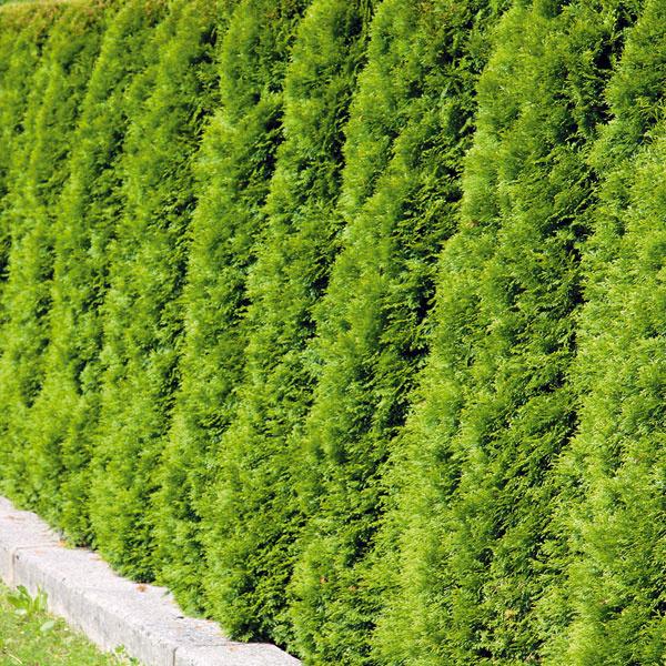 5. Oddeľte sa od okolia    Živé ploty chránia pred neželanými pohľadmi, zadržiavajú prach, zvyšujú vzdušnú vlhkosť aj výborne delia priestor. Dobre založený plot bude tieto úlohy plniť desiatky rokov. Október aj november je optimálny na ich založenie. Neskôr na jeseň môžete vysadiť aj opadavé listnáče bez koreňového balu (vtáčí zob), čo je výrazne lacnejšie. Ihličnany (tuje, smreky, cyprušteky) je však potrebné vysádzať s ním. Pri výbere sa riaďte nielen druhovými požiadavkami, ale aj rastovými charakteristikami. Väčšina drevín však potrebuje slnko a humóznu, mierne vlhkú pôdu. Pri výsadbe dbajte na správne rozstupy medzi rastlinami, čo je základom hustého plota.