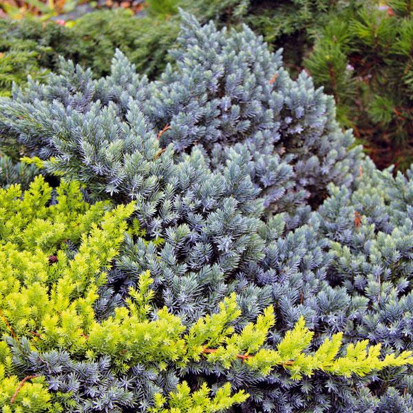 3. Borievky na problematické miesta   Medzi najmenej náročné a pritom pomerne rýchlo rastúce dreviny patria plazivé formy borievok (Juniperus squamata, sabina, horizontalis). Po krátkom čase dokážu zazeleniť súvislú plochu (hodia sa do väčšej skalky alebo predzáhradky), a to bez pravidelnej starostlivosti. Po zakorenení tak odpadá každodenné zalievanie, burina v ich prítomnosti prakticky nemá šancu a výhodou je, že ich korene spevnia aj problematický svah. Neprekáža im sucho, znečistený vzduch ani horšia kvalita pôdy. Borievku môžete smelo kombinovať aj s inými rastlinami. Nevýhodou je, že pichá, a preto je menej vhodná do záhrad, kde sa pohybujú menšie deti.