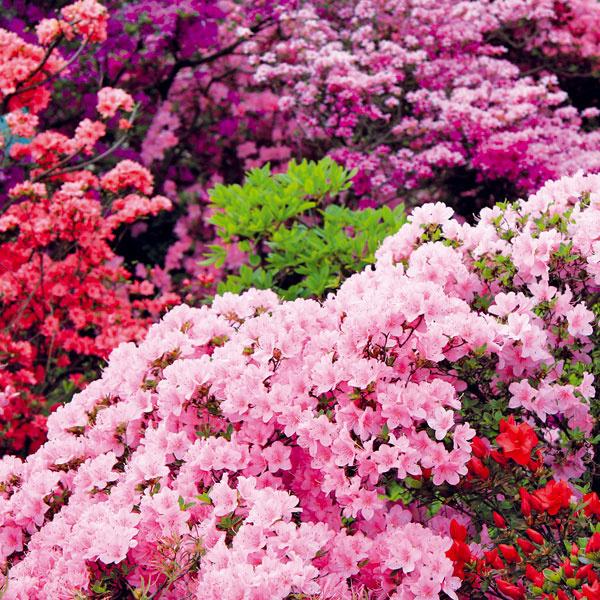 4. Vneste do záhrady kúsok Ázie  Záhradu môžete spestriť aj drevinami s nádychom Ázie, napríklad rododendronmi. Tieto nádherné na jar kvitnúce dreviny by sa mali vysádzať na jeseň (od konca augusta do októbra) – ešte sa stihnú zakoreniť a na jar väčšinou rozkvitnú. Rododendrony sú náročné na prostredie, preto ich nesaďte na slnko či do suchej a piesočnatej pôdy. Dariť sa im bude na tienistom mieste, pod korunami vyšších, nie plytko koreniacich drevín, pričom musia mať humózny, mierne vlhký a kyslejší substrát. Rododendrony sa sadia len s koreňovým balom v dňoch, keď je pod mrakom alebo prší. Po výsadbe okolie namulčujte hrubšou vrstvou lístia alebo kôrového mulču.