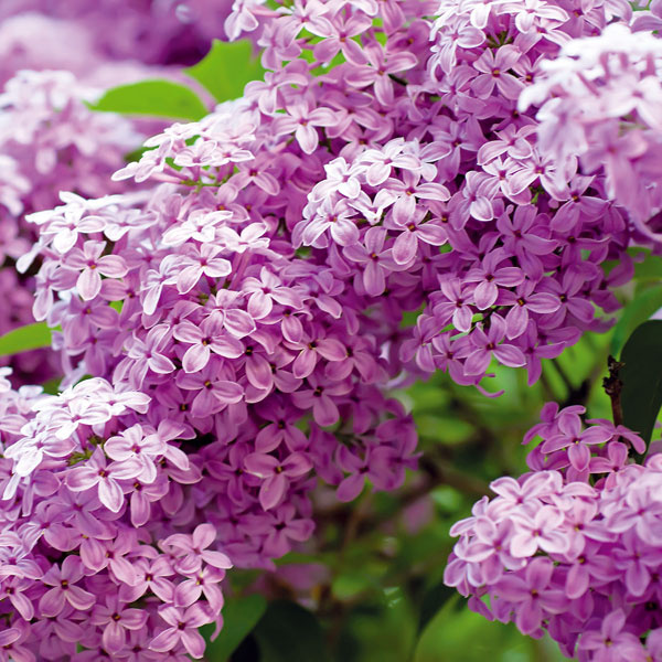 6. Myslite na jar  Jeseň je vhodná aj na výsadbu na jar kvitnúcich opadavých listnatých krov. Môže ísť o orgovány, kérie, kaliny, dulovce, okrasné ríbezle, pajazmín, vajgélie, tavoľníky či trojpuky. Tieto dreviny sú pestovateľsky nenáročné. Vysádzajú sa s koreňovým balom, zvyčajne na slnečné miesta tak, aby mali dostatok priestoru. Dôležité je rešpektovať ich rastové charakteristiky, teda výšku aj šírku rastu, a nevysádzať ich tesne k iným rastlinám. Veľmi pekné sú v kvetinových záhonoch, v skupinách s viacerými druhmi krov, pred múrmi alebo vo forme voľne rastúcich živých plotov. Vďaka jesennej výsadbe sa už nasledujúcu jar možno dočkať krásne obkvitnutých krov.
