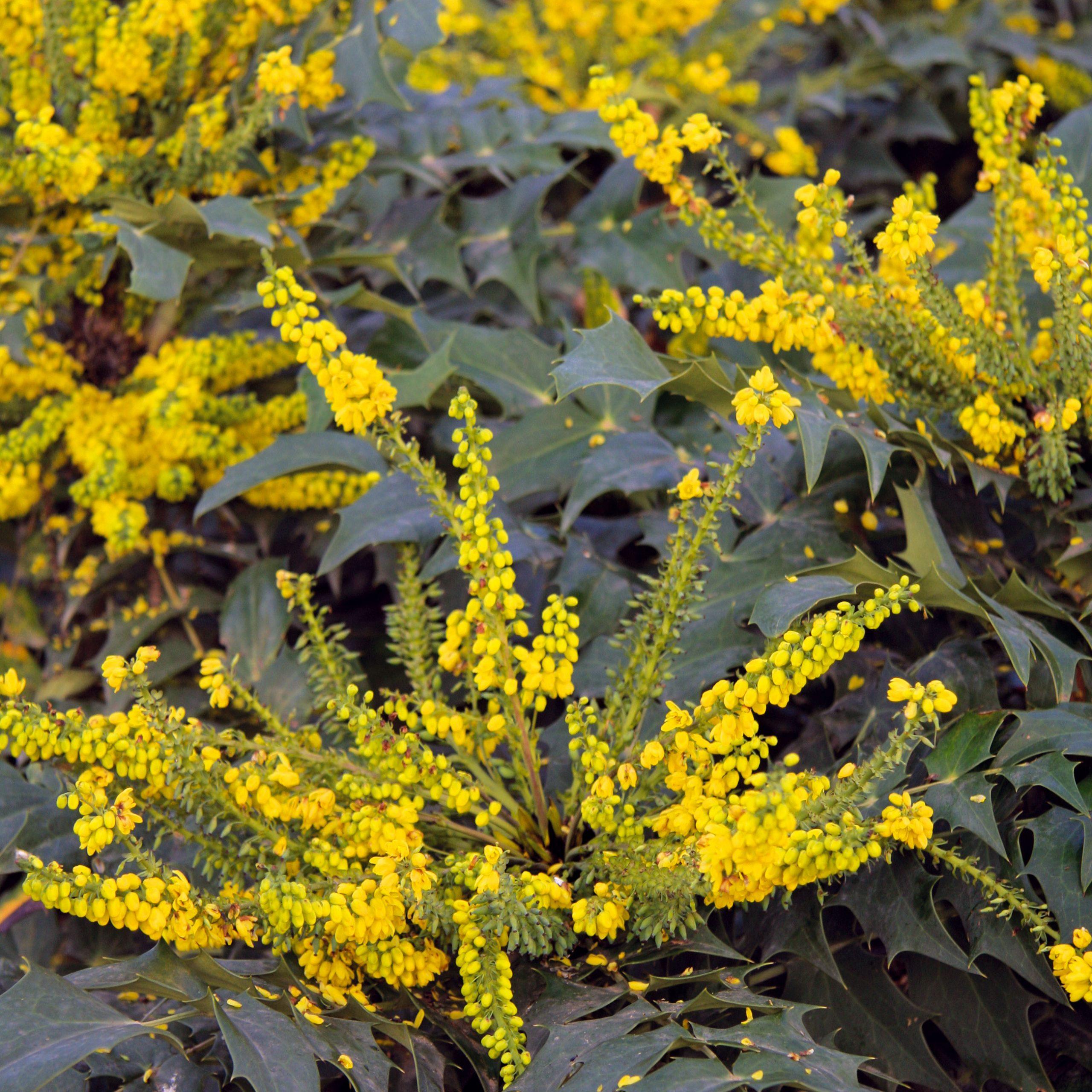 Kvety chladu  Začiatkom roka už rozkvitá niekoľko krásnych drevín, ktoré môžu byť zaujímavým šperkom každej záhrady. Môže to byť jazmín nahokvetý (Jasminum nudifolorum) splazivými zelenkastými konármi ažltými kvetmi, hamamel (Hamamelis x intermedia), ktorého hlavným bonusom sú žlto alebo oranžovo sfarbené okvetné lístky. Voňavé kvety počas zimy ponúka ružovo kvitnúca kalina (Viburnum fragrans), mahónia (Mahonia x media 'Winter Sun') či menej známy zimovec (Chimonanthus praecox) – veľký štíhly aopadavý ker svoskovitými kvetmi so stredmi spurpurovým nádychom.