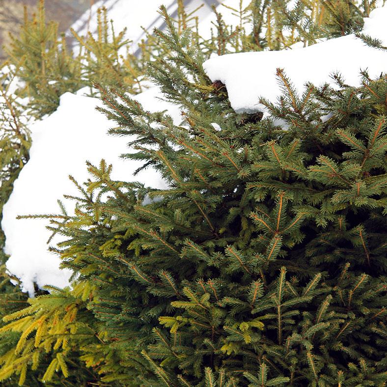 Užitočný aj škodlivý sneh  Sneh je najprirodzenejšou ochranou rastlín, ato aj tých pestovaných vzáhrade. Je dobré sústrediť ho na skalky, kživým plotom, solitérnym drevinám aj pod vždyzelené kry aihličnany. Prospeje aj vblízkosti rododendronov avporaste trvaliek. Mokrý aťažký sneh však môže byť problémom najmä pre stĺpovité dreviny, prípadne ich guľovité formy, keďže dochádza kich poškodeniu. Preto je dobré stĺpovité dreviny pred zimou pevne zviazať azostatných ťažký sneh priebežne striasať. Nezabudnite, že väčšine rastlín škodí posypová soľ.