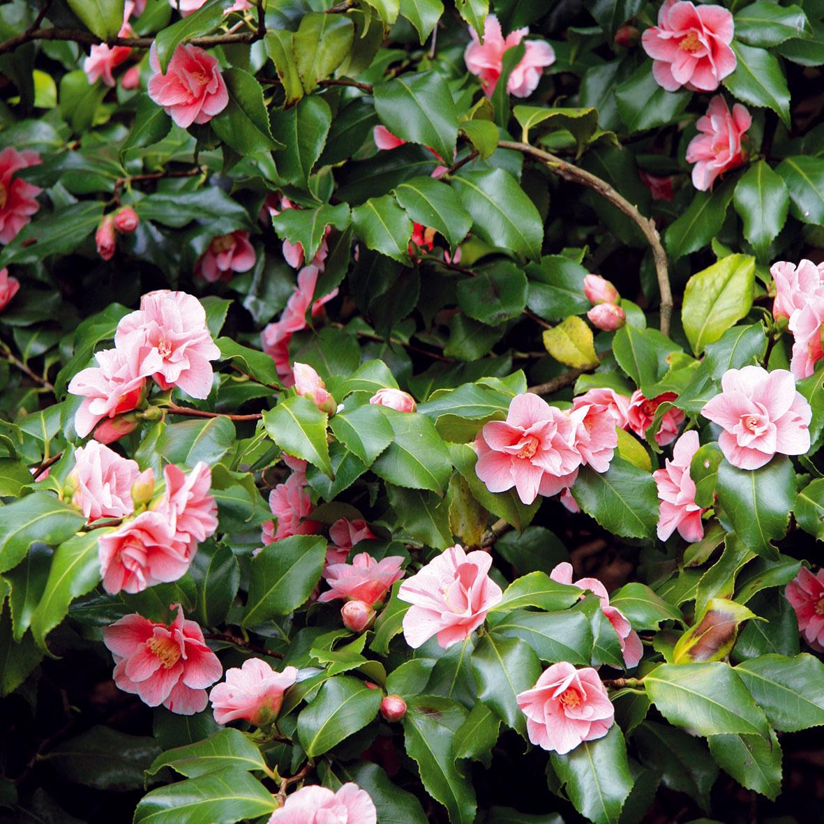 Rozkvitnutá zimná záhrada  Vzimných záhradách sa pestujú najmä rastliny okrasné listami, ktoré dopĺňajú kvitnúce druhy. Ktým najkrajším patria kamélie (Camellia japonica). Tieto nízke vždyzelené kry skožovitými listami kvitnú od decembra do jari. Sú dlhoveké, vyžadujú si rozptýlené svetlo, vyššiu vzdušnú vlhkosť ateplotu do asi 10 °C. Suchý vzduch ablízkosť tepelného zdroja im veľmi škodia. Zalievajú sa mäkkou vodou anie je dobré snimi hýbať včase vytvárania pukov apočas kvitnutia. Okrem nich sú do zimnej záhrady vhodné azalky, zornice či cyklámeny