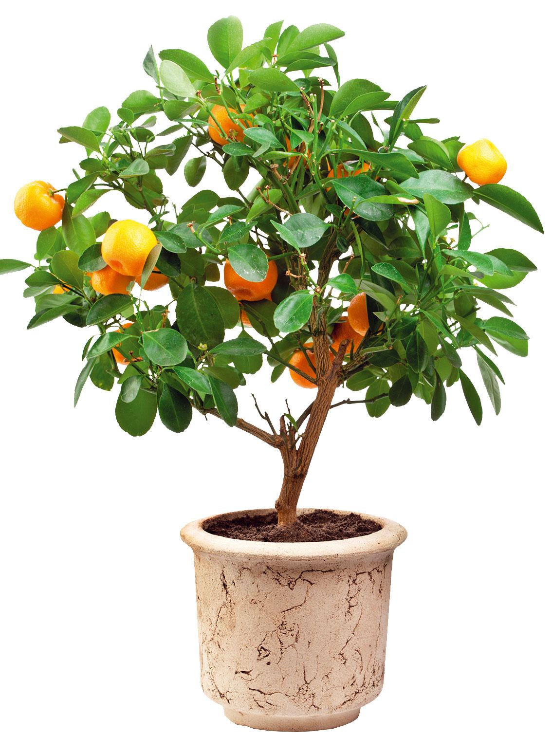 Citrusy potrebujú chlad  Citrusom po lete vexteriéri doprajte vegetačný pokoj. Vstudených mesiacoch by mali byť na svetlom achladnejšom mieste (ideálne 3 až 12 °C), nie vprekúrenej miestnosti so suchým vzduchom. Na zimu obvykle stratia listy. Ak sa však pestujú počas celého roka vteplých avzime vo vykurovaných priestoroch, napríklad vzimných záhradách, listy nestrácajú asú atraktívne celoročne. Počas nasledujúcej sezóny však nemusia kvitnúť ani plodiť. Vzime ich zalievajte opatrne. Ak im začnú hnednúť konáriky alebo špičky listov, môže to byť znak preliatia.
