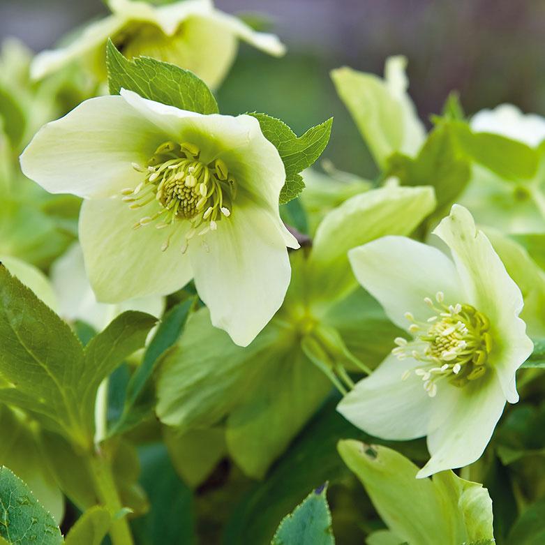 Čarovné čemerice    Kmrazuvzdorným trvalkám patria čemerice (Helleborus niger). Ich miskovité kvety bielej farby často kvitnú veľa týždňov, vďaka čomu sú vítanou ozdobou balkónov aterás. Možno ich pestovať samostatne alebo vkombinácii sminiihličnanmi. Najskôr rozkvitá kultivar 'Praecox' – často už vdecembri. Rastliny sú pomerne kompaktné, vysoké asi 40 cm adekoratívne aj kožovitými listami. Najlepšie porastú na svetlých miestach orientovaných na sever azápad shumóznou avýživnou pôdou. Dôležitá je pravidelná zálievka, ato vdňoch, keď je slnečno anemrzne.