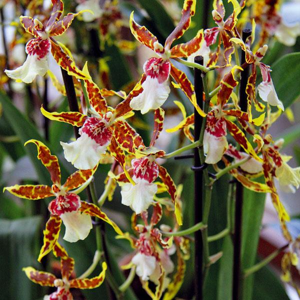 Nové prírastky do zbierky orchideí  Na parapetoch väčšiny slovenských domov abytov nájdete veľké množstvo orchideí jedného druhu – obľúbený lišajovec. Interiér však môžete ozvláštniť aj inou menej pestovanou orchideou. Krásne sú miltónie (Miltoniopsis hybrid), ktoré kvitnú na jeseň aich zamatové kvety aj krásne voňajú. Viac pestovaná je katleja, ktorá, naopak, kvitne najmä na jar apúta skutočne prepychovo pôsobiacimi kvetmi. Vstarších interiéroch sťažkým masívnym nábytkom pôsobí dobre črievičkovec (Paphiopedilum insigne), kvitnúci od jesene do jari. Najmohutnejšie pôsobí cymbídium (Cymbidium hybrid). Kvitne od jesene do jari anádherne vynikne vzimnej záhrade aj vkúpeľni.