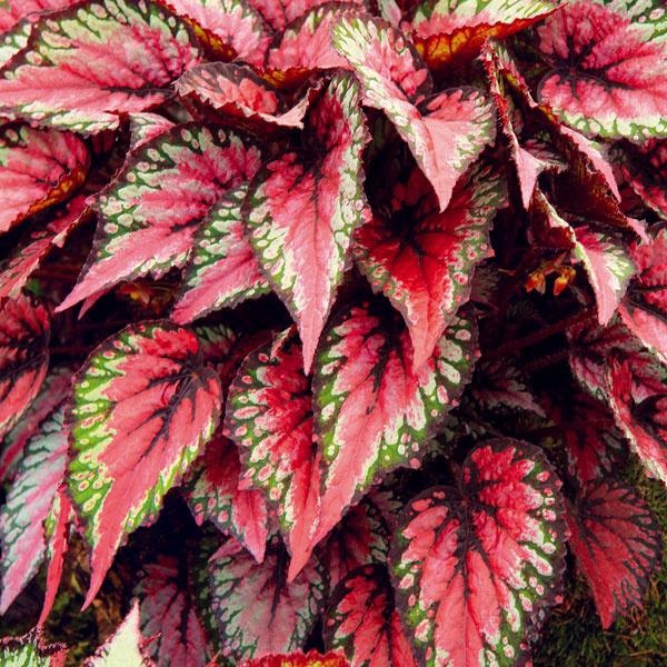 Fascinujúci karneval listov  Izbové rastliny okrasné listom vnášajú do interiérov celoročnú farebnosť ahravosť. Vhodné sú napríklad nenáročné krotónovce alebo begónie (Begonia rex). Vyšľachtených bolo už množstvo krásnych hybridov begónií – scelistvo okrajovými alebo strihanými listami, farebnými či so zaujímavými kresbami. Listy begónií môžu byť hladké, drsné, rebrovité alebo pľuzgierovité. Begónie aj kvitnú, hoci ich kvietky sú drobnejšie. Pestovanie nie je zložité – porastú vpolotieni, nesmie na ne dopadať priame slnečné svetlo, mali by mať humózny rašelinový astále mierne vlhký substrát. Vzime by mala mať rastlina nižšiu teplotu (okolo 15 °C), vlete vyššiu.