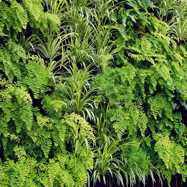 Stena zčističov vzduchu  Aktuálne sú vertikálne výsadby, ktoré sa uplatnia vmoderných či malých bytoch. Všpeciálnych priestoroch (plastových priečinkoch či vreckách) výborne porastú najmä izbové rastliny okrasné listom – papraďorasty, plazivé figovníky (Ficus pumila), peperomie, begónie, syngóniá, potosy či filodendrony. Stenu si môžete vyskladať aj zrastlín, čo dokážu čistiť vzduch od rôznych škodlivín. Typickým zástupcom je zelenec (Chlorophytum comosum), ktorému vyhovuje vyššia vzdušná vlhkosť adostatok svetla, či izbový brečtan, ktorý je schopný čistiť vzduch vpriestore, kde sa koncentruje cigaretový dym. Realizáciu vertikálnej výsadby je dobré prenechať špecializovanej firme.