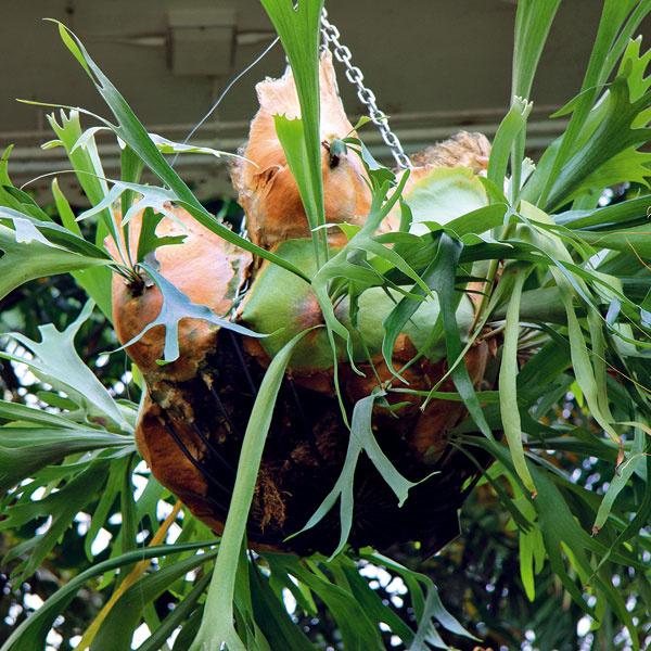 Porastie zo stropu  Sortiment izbových rastlín ponúka mnohé lákadlá. Zaujímavou voľbou do svetlej miestnosti, napríklad obývacej izby – je parohovec (Platycerium bifurcatum). Ide vpodstate opapraďorast pochádzajúci ztrópov. Videálnych podmienkach sa časom pekne rozrastie, pričom tvar listov pripomínajúci jelenie parohy asi najkrajšie vynikne vzávesnej nádobe. Rastlina potrebuje sústavný príjem vlahy (občas je dobré ponoriť kvetináč skoreňmi na hodinu do vody), je tiež potrebné postrekovať jej listy vlažnou vodou araz mesačne ju prihnojiť. Pri dobrej starostlivosti dokáže narásť až do šírky 1,2 m. Ak má zabezpečený prísun svetla aj zo strešných okien, rastie pomerne rýchlo.