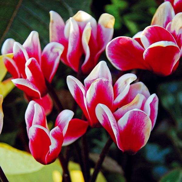 Milovníci chladu  Zima ponúka veľa krásnych kvitnúcich izbových rastlín. Môže ísť oazalky, cyklámeny, prýštce, zornice, begónie či vianočné kaktusy, ktoré vnesú do bytu pozitívnu náladu ahlavne farebnosť, ktorej je vzime nedostatok. Netreba však zabúdať, že dlhé kvitnutie abohatosť kvetov musia byť podporené správnym umiestnením. Tieto rastliny obvykle dobre porastú vchladných (maximálne do 18 °C) asvetlých priestoroch svyššou vzdušnou vlhkosťou. Ideálna je spálňa, chodba či zimná záhrada. Rastliny by mali mať stále mierne vlhký substrát, treba im pravidelne odstraňovať neestetické odkvitnuté kvety apočas kvitnutia je prínosné aj prihnojovanie hnojivom na kvitnúce izbové rastliny.