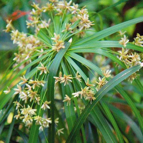 Ochránia pred nepriateľmi  Mnohé izbové rastliny majú schopnosť zvyšovať kvalitu prostredia, vktorom rastú. Lopatkovec (Spathiphyllum 'Euro Giant') napríklad pohlcuje zo vzduchu acetón, brečtan, šeflera, zelenec, filodendron či dracéna zasa zachytávajú formaldehyd. Kvýborným čističom vzduchu patria aj gerbery. Vlhkosť vzduchu pomáhajú zvyšovať veľkolisté druhy, napríklad banánovníky, monstery či sleziníky (Asplenium nidus), vysoké množstvo vody odparí aj šáchor (Cyperus alternifolius). Knajlepším bojovníkom selektrosmogom patria kaktusy či dracény. Vboji sprachovými časticami sú účinné drobnolisté druhy, napríklad brečtan alebo plazivý figovník.