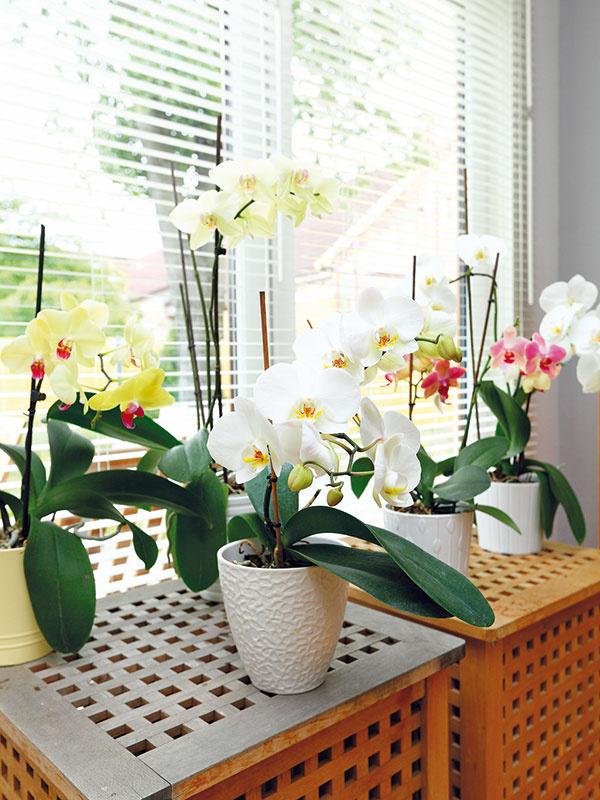 Orchidey sú pýchou aj radosťou domáceho pána. Vobývačke majú ideálne podmienky – vyžadujú si dostatok svetla, nemajú však rady priame slnko. Okrem pravidelného polievania ich treba aj rosiť.