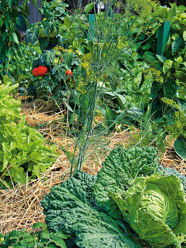 Dôležitou činnosťou vekologickej záhrade je nastielanie napríklad slamou, ktoré zamedzí vyparovaniu vlahy aobmedzí rast buriny. Takto upravený záhon pôsobí navyše veľmi prirodzene. (foto: Daniel Košťál)