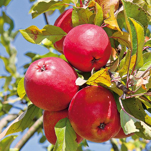 Ovocie vbiokvalite sa dá pomerne jednoducho dopestovať. Stačí dodržať niekoľko ekozásad, ku ktorým rozhodne patrí zelené hnojenie.