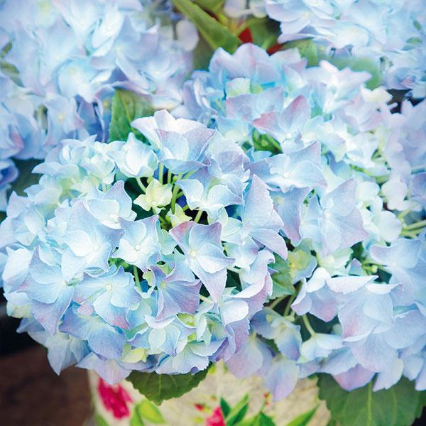 Hortenzie vnádobe  Skoro na jar si možno vzáhradníctvach zakúpiť hortenzie (Hydrangea macrophylla) včrepníkoch, ktoré sa hodia do exteriéru iinteriéru. Ich zaujímavosťou je, že vzávislosti od kultivaru apôdnej reakcie sa odtieň kvetov mení od ružovej po modrofialovú. Vinteriéri sa im bude dariť na svetlom mieste (východné alebo západné okno), vhodná je skôr chladnejšia miestnosť adôležité je neustále zavlažovanie odstátou vodou. Dobré je prihnojovať ich raz za dva týždne hnojivom na hortenzie. Vonku sa môžu pestovať, keď pominú silnejšie mrazy.