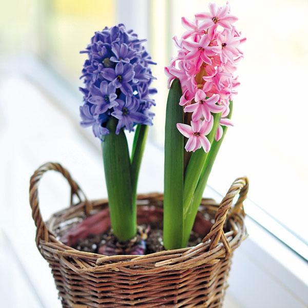 Hyacinty sú obľúbené cibuľoviny, ktoré možno kúpiťrýchlené už počas zimy. Ich kvety sú trváce, krásne sfarbené apríjemné aj na dotyk. Hyacinty sa dajú dočasne pestovať vinteriéri – nachodbách, vkuchyniach, halách, nepatria však do spální ani detských izieb. Potrebujú svetlo, dostatok vlahy arosenie kvetov. Škodí im sálajúce teplo asucho, na čo reagujú žltnutím listov. Hyacinty sa dajú pestovať samostatne alebo aj vkombinácii sinými cibuľovinami arýchlenými jarnými kvetmi. Skoro na jar ich môžete vysadiť do okien, prípadne nimi môžete spestriť predzáhradku. Po odkvitnutí je možné cibule znádob presadiť do záhonov, kde budú vnasledujúcich rokoch ďalej kvitnúť.