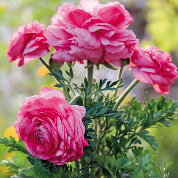 Vposlednom čase sa vkvetinárstvach skoro na jar objavujú aj rýchlené iskerníky (Ranunculus asiaticus), ktoré sú skutočnou lahôdkou pre milovníkov kvetín afarieb. Rastliny sú často pekne olistené, no najkrajšie sú ich dominantne pôsobiace rôznofarebné kvety. Dajú sa dočasne pestovať vinteriéri arovnako aj vexteriéri. Doprajte im slnečné alebo polotienisté miesto, pravidelne ich zavlažujte aodstraňujte im odkvitnuté kvety. Niekedy je dobré počet kvetov zredukovať, keďže sa pod ich ťarchou môžu zlomiť. Rastlinám neprekáža chlad, škodí im však suchý vzduch aprekúrená miestnosť. Rozkvitnuté iskerníky preto sústreďte na najchladnejšie asúčasne dobre vetrané miesta bytu.