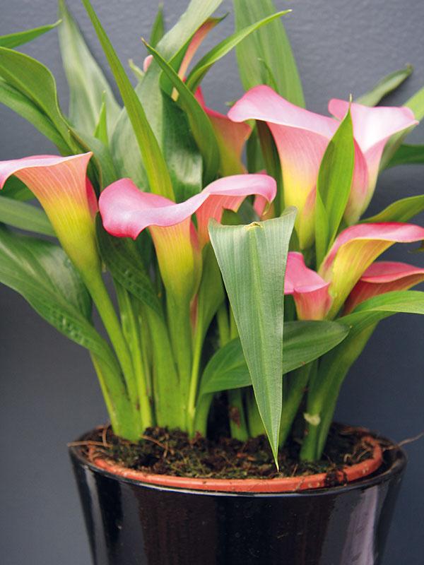 Kornútovku (Zantedeschia hybrid) si môžete kúpiť narýchlenú počas zimy ajskorej jari. Atraktívne kvety tejto hľuznatej rastliny môžu byť biele, žlté, oranžové alebo ružové. Rastlina je počas kvitnutia vysoko reprezentatívna, apreto ju umiestnite na dobre viditeľné miesto. Vynikne najmä samostatne, preto je ideálne kúpiť si bohatší trs. Výborne sa hodí do moderných bytov, hoci treba počítať stým, že ide osezónnu rastlinu. Kornútovka si vyžaduje teplo, vlhko apravidelný prísun živín. Dôležité je zavlažovanie vlažnou vodou tak, aby substrát nebol nikdy suchý. Niektoré druhy sa pýšia aj krásnymi, neraz netradične škvrnitými listami. Už pri kúpe ale myslite na to, že zle znášajú suché aprekúrené byty.