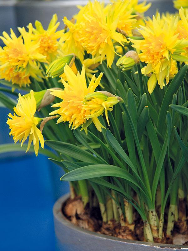 Žlto kvitnúce narcisy, napríklad kultivar 'Tete-a-Tete', údajne majú schopnosť nabiť človeka pozitívnou energiou. Či to platí aj vskutočnosti, najlepšie posúdite sami. Isté však je, že rýchlené narcisy patria kobľúbeným prvým jarným kvetom. Príťažlivé sú najmä vysadené samostatne vpeknej nádobe aumiestnené na dobre viditeľnom mieste – na kuchynskom parapete, chodbe, vsvetlej kúpeľni, prípadne aj vobývacej izbe. Dôležité je, aby bola miestnosť pravidelne vetraná. Rovnako dobre sa im bude dariť aj na balkónoch aterasách, kde ich môžete vysadiť do jednej nádoby sprvosienkami asirôtkami. Aj narcisy pravidelne zavlažujte avmiestnosti so suchším vzduchom roste.