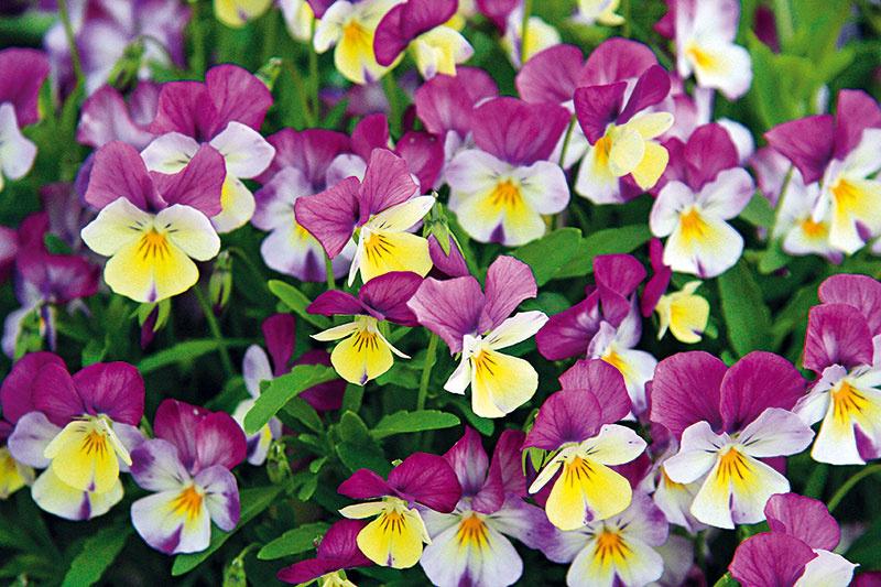 Ponuka fialky ostrohatej (Viola cornuta) je veľmi bohatá. Vhodné je napríklad voliť farebnosť príbuznú fasáde domu.