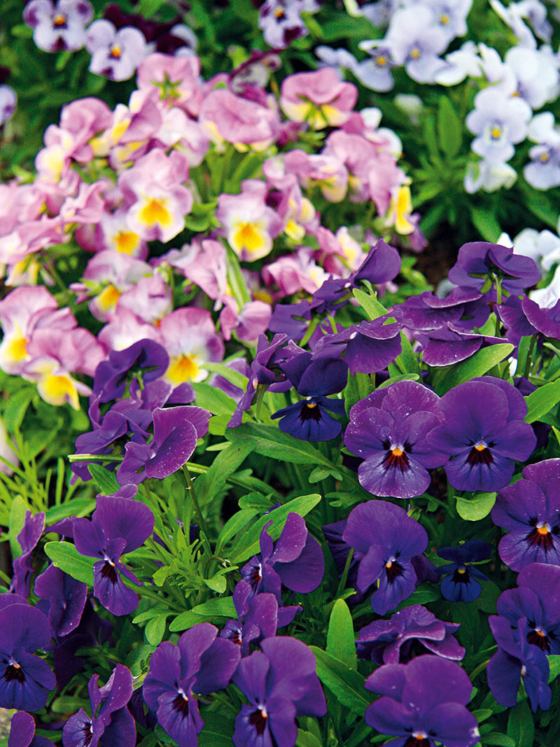 Fialky sirôtkové vyniknú na okraji záhonov, pri jazierkach aveľmi pekne pôsobia vblízkosti kvitnúcich zlatoviek.