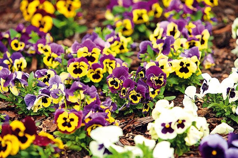 Fialky sirôtkové – to najkrajšie z jarnej záhrady