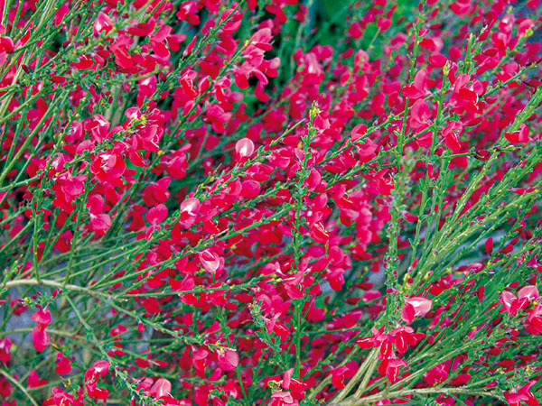 Na jar vzáhrade zaujmú krásne rozkvitnuté kry. Prednosťou niektorých je, že nezaberú veľa miesta, apreto sú vhodné aj do menších záhrad. Takou je aj zanoväť (Cytisus), ktorá sa vyznačuje atraktívnym habitusom, tenkými sviežimi zelenými konárikmi sdrobnejšími lístkami anajmä peknými rôzne veľkými kvetmi (žltobielymi, žltými, oranžovými alebo ružovými), čo sa na nej objavujú už vprvom roku po výsadbe. Zanoväť najlepšie rastie na slnku, vteple asuchu, nevyžaduje si špeciálnu starostlivosť. Vysádza sa na jar skoreňovým balom.