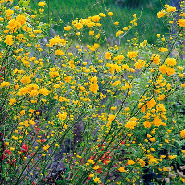 Vtomto období si môžete vysadiť aj voľne rastúce živé ploty. Nemusí ísť len okry atraktívne hustým olistením, ale aj kvetmi. Môžete si ich vyskladať tak, aby boli premenlivé apočas sezóny rozkvitali rôznymi druhmi kvetov. Na jar to môžu byť orgovány, zlatovka, pajazmín, okrasná ríbezľa či kéria, vlete budlea, tavoľník aibištek. Nádherný je aj živý plot zo sadových ruží. Myslite na to, že kvitnúce živé ploty potrebujú slnko aoveľa väčší prísun živín. Tieto kry zvyčajne vytvoria stenu vysokú 2až 3 m. Medzi jednotlivými krami dodržte adekvátne rozstupy.