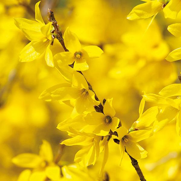Ako živý plot ajsolitér  Zlatovka (Forsythia x intermedia) patrí knajobľúbenejším drevinám skorej jari. Charakterizuje ju množstvo zlatožltých kvetov na ešte neolistených stonkách avzpriamený, prípadne rozložitejší vzrast. Po odkvitnutí sa ale stáva menej zaujímavou. Čiastočne lepšie je na tom zlatovka kórejská (Forsythia koreana), ktorej listy majú atraktívnu mramorovú kresbu. Zlatovka vynikne vskupine sjarnými cibuľovinami, pred pozadím ztmavších ihličnanov aj ako živý plot. Znesie široké spektrum priepustných ana živiny bohatých pôd, dariť sa jej nebude na zamokrených pôdach ani vtieni. Predpokladom bohatého kvitnutia je aj pravidelný rez. Ide onenáročnú, rýchlo rastúcu drevinu, ktorá znesie aj znečistené ovzdušie.