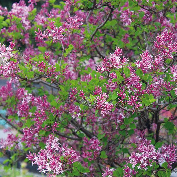 Miniorgován aj na terasu  Orgovány (Syringa) predstavujú typické jarné kvitnúce dreviny sfarebnými avoňavými súkvetiami. Obvykle sú pestovateľsky nenáročné (vyžadujú humóznu, mierne vlhkú pôdu aslnečné miesto) adlhoveké. Občas sa však nežiaduco rozrastajú do okolia, apreto sa pokladajú za problematické. Existujú však aj rozmerovo menšie, ateda menej problematické, no rovnako atraktívne druhy, napríklad pomaly rastúci orgován Mayerov (Syringa meyeri). Tento asi 1,5 m vysoký ker pochádza zČíny, je husto olistený menšími lesklými listami abohato kvitne. Súkvetia sú menšie, najčastejšie ružové alebo svetlofialové. Hodí sa na okraje záhonov, do väčších skaliek, predzáhradiek aj väčších vegetačných nádob na terasu.