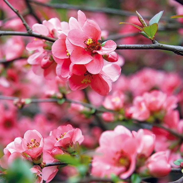Rozžiari kúty  Dulovec (Chaenomeles japonica) pôvodom zJaponska má ružové, tehlovočervené až karmínové kvety (tvoria sa na minuloročných konárikoch avždy vskupine) apo odkvitnutí sa na ňom vytvárajú voňavé zelenožlté plody. Je ideálnym riešením vprípade pochmúrnejších miest aproblematických kútov. Drevina je mrazuvzdorná, pestovateľsky nenáročná, rýchlo rastúca adlhoveká. Miestami má však aj tŕne, atak je menej vhodná do záhrad sdeťmi. Potrebuje slnečné miesto amenej výživnú pôdu. Dorastá do výšky asi 1,5 m, časom sa však rozrastá do šírky, na čo treba myslieť už pri výsadbe. Vynikne ako solitér, vo voľne rastúcich živých plotoch, vzmiešaných záhonoch aj ako podrast pod vyššími drevinami.