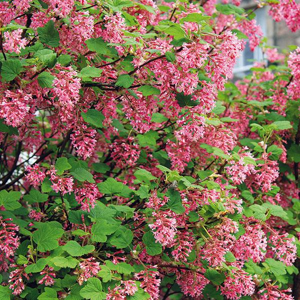 Vidiecka parádnica  Okrasná ríbezľa (Ribes sanguineum) patrí včase kvitnutia katraktívnym krom. Nemá tŕne, je príjemne aromatická avyniká veľkým množstvom súkvetí. Ide oopadavý ker, ktorý videálnych podmienkach (slnečné miesto, vlhká pôda) dorastá až do výšky 2,5 m. Rozkvitá koncom jari ačím je drevina staršia, tým je množstvo kvetov bohatšie adá sa ešte zvýšiť prihnojovaním. Bohatosť kvitnutia závisí aj od pravidelného rezu. Vynikne vskupine sinými kvitnúcimi krami, pri plote aj za výsadbou zcibuľovín. Najviac sfarbené (karmínové) súkvetia má kultivar 'King Edward VII'. Kultivar 'White Icicle' zase zaujme bielymi súkvetiami. Ker je vhodnou voľbou pre začiatočníkov aj zaneprázdnených pestovateľov.
